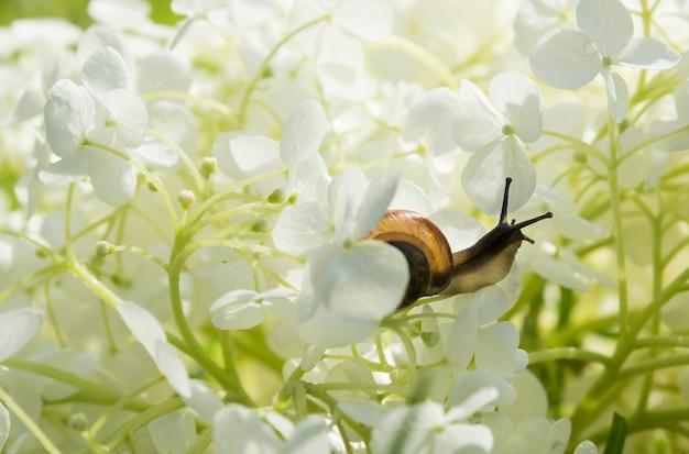 庭のカタツムリは大きな白い花アジサイarborescens、柔らかな光、ぼやけた背景、選択的な焦点の中で這う