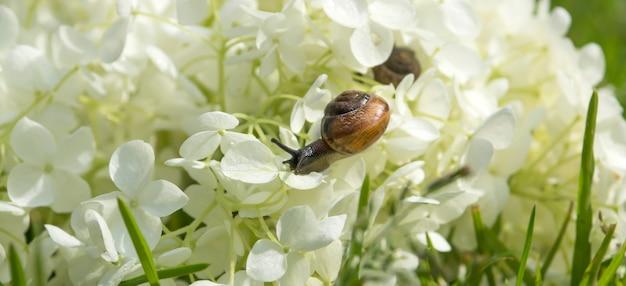 庭のカタツムリは大きな白い花アジサイarborescens、ぼやけた背景に前に忍び寄る