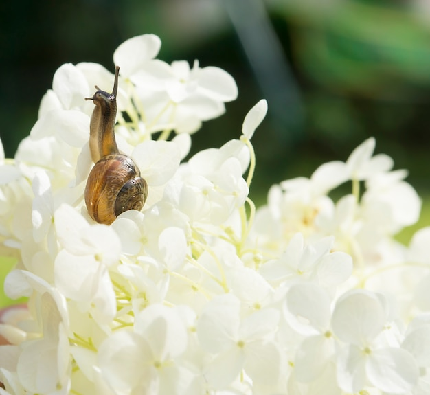 庭のカタツムリが大きな白い花に忍び寄るアジサイarborescens