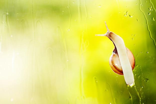 Садовая улитка под дождем.