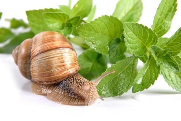.garden snail isolated on white background