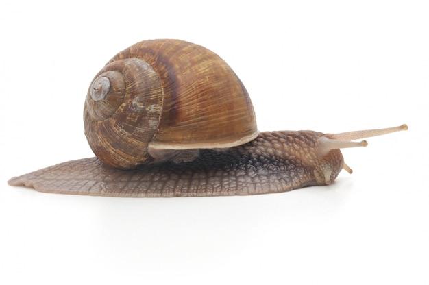 Garden snail isolated