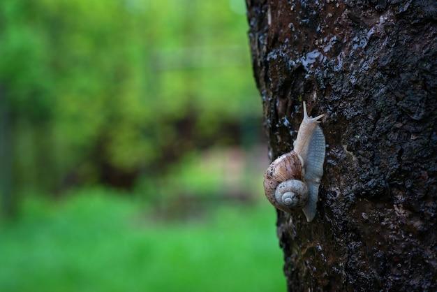 Улитка сада на коре дерева в дожде. виноградная улитка, общие названия римская улитка, бордовая улитка, съедобная улитка или улитка. мягкий выборочный фокус.