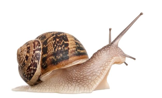 Garden snail on white isolated