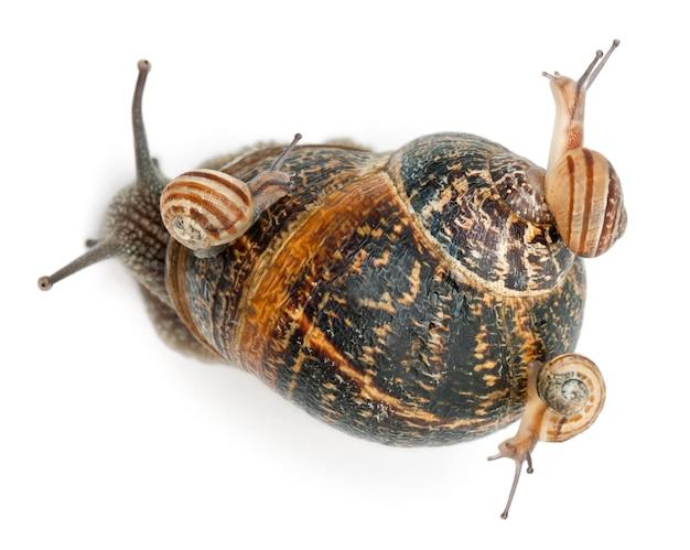 殻に赤ちゃんがいる庭のカタツムリ