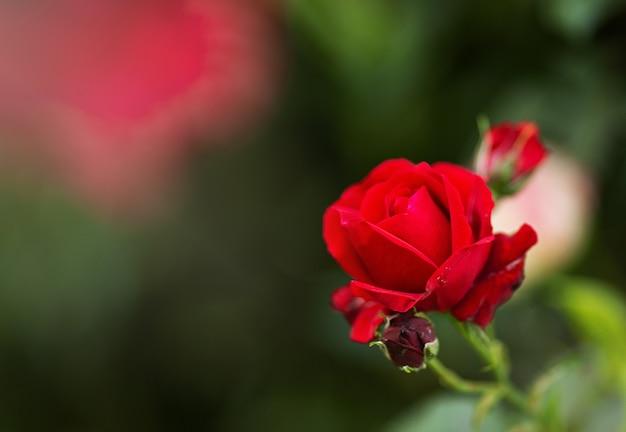 Садовые кустовые красные розы. зеленые листья на ветвях, кусты ярких цветущих роз в солнечный день. естественный цветочный фон. концепция ботанического цветения. селективный фокус изображения. копировать космический макет