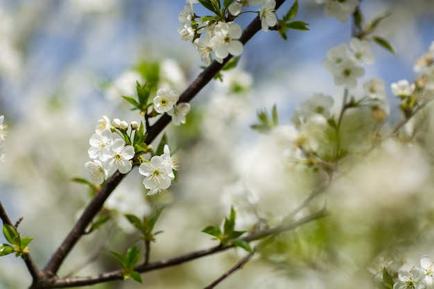 Garden in spring time. closeup view of cherry or apple blossom. little green leaves and white flowers of cherry tree. concept of beautiful background. horizontal wallpaper