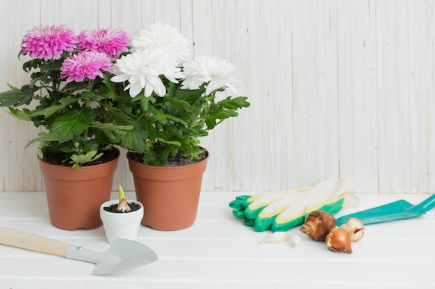 Garden tools and chrysanthemum on white wooden table