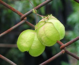 Garden vine on a chain link fence