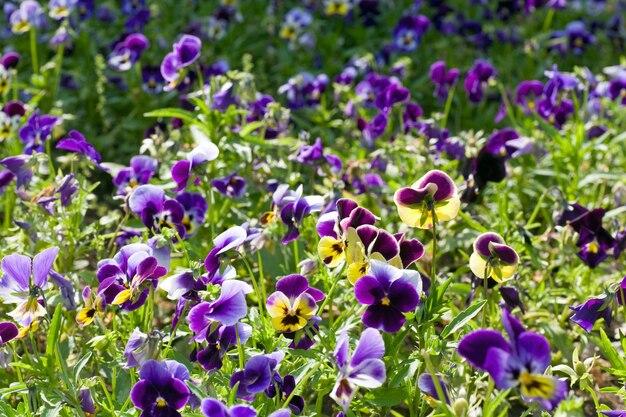 花とガーデンバイオレット「ビオラトリコロール」(春の背景)