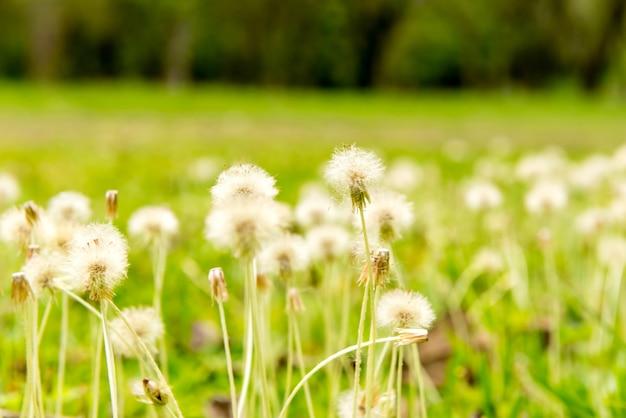 잔디와 민들레가 있는 정원 선택적 초점