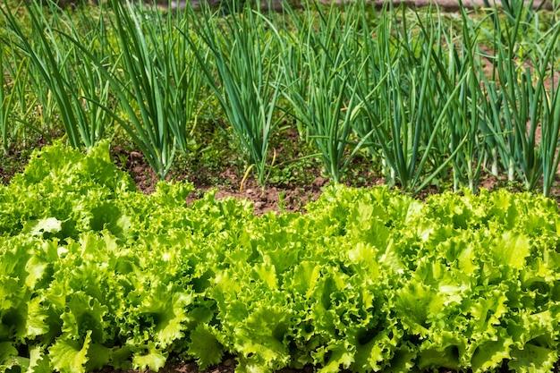 緑のレタスの葉と青ネギのクローズアップと庭