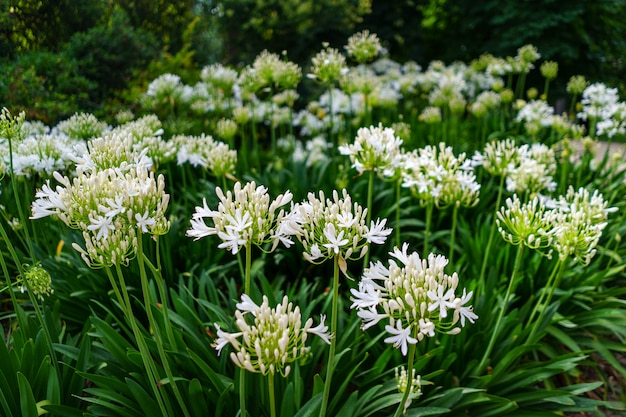 Garden with multiple white flowers and stems with green leaves in summer.