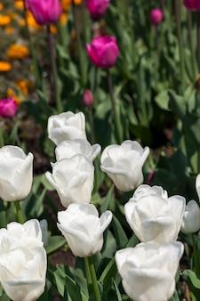 Сад с тюльпанами в летний сезон, большое количество цветов тюльпанов для украшения сада, грязь на цветах
