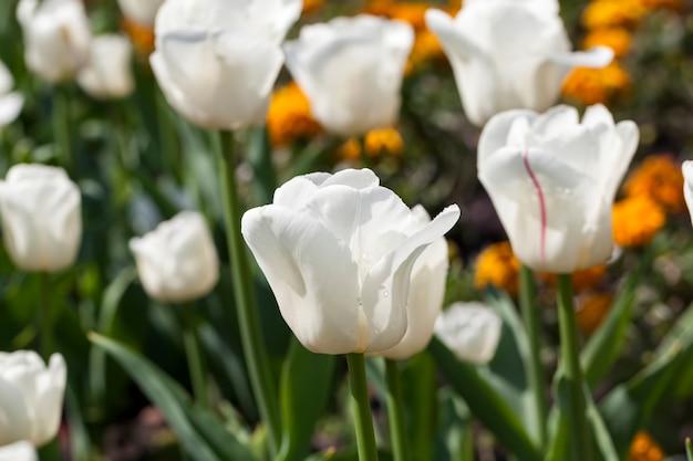 Сад с тюльпанами в летний сезон, большое количество цветов тюльпанов для украшения сада.