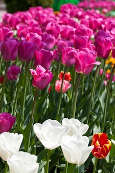 Garden with tulips in the summer season, a large number of tulip flowers for garden decoration