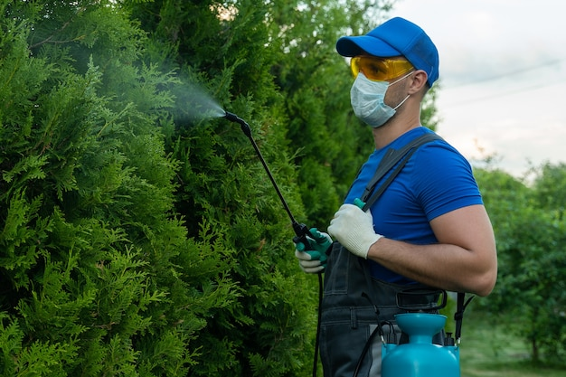 Gardener applying insecticide fertilizer to his thuja using a sprayer