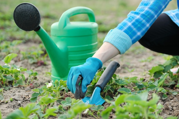 Gardener cultivates soil with hand tools, spring gardening