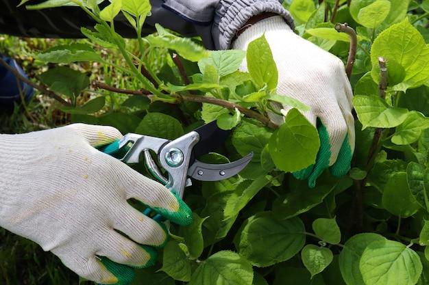 Садовник срезает изгородь гортензию садовым секатором, закрывает подрастающие кусты, обрезка куста гортензии