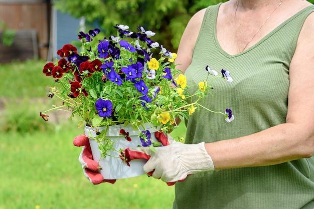 作業用手袋をはめた庭師の花屋は、戸外の家の夏の庭でパンジーの苗を持っています。ガーデニングと花のコンセプト。