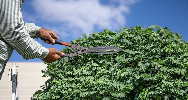 Un giardiniere nel giardino con una capanna taglia un albero con i ricci contro il cielo.