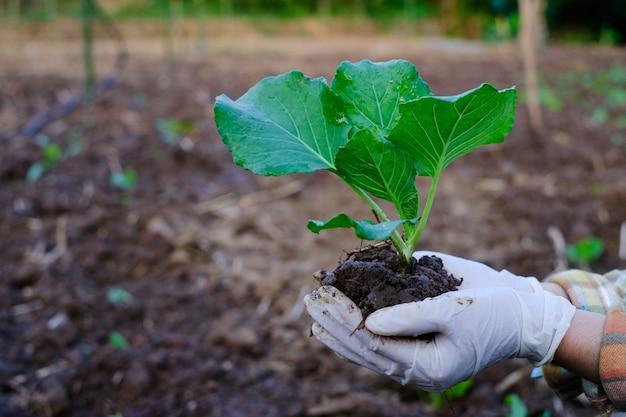 Gardener hand holding seedling cabbage vegetable in the organic farm