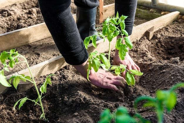 庭師の手がトマトの苗を土に植えます。