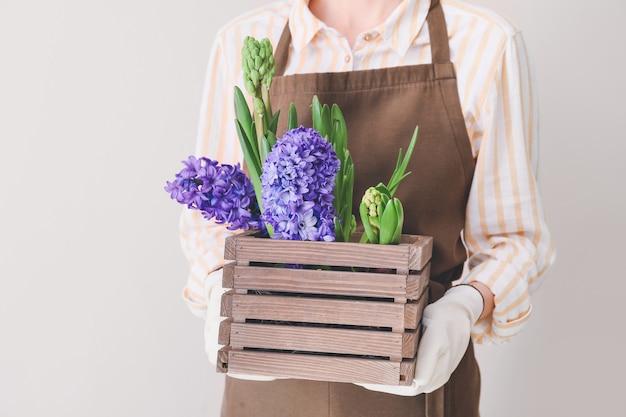 정원사 빛 표면에 히아신스 식물 상자를 들고