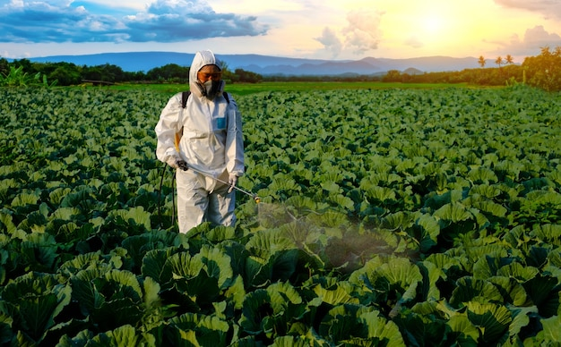 山と日没の巨大なキャベツ野菜植物に農薬を散布する防護服を着た庭師