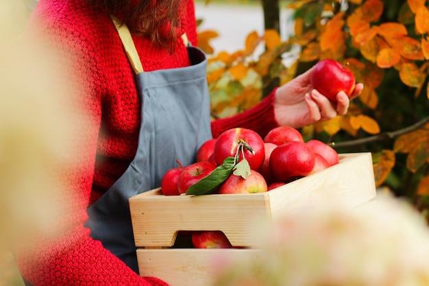 앞치마를 입은 정원사는 과수원에 있는 상자에 빨간색 반짝이 익은 사과를 들고 있습니다. 나무 상자에 즙이 많은 빨간 사과가 많이 있습니다. 중소기업