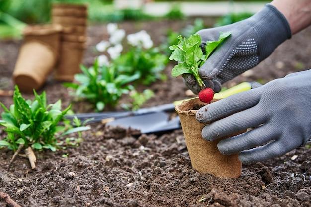 Садовник в перчатках сажает сельскохозяйственное растение в горшок в саду на заднем дворе