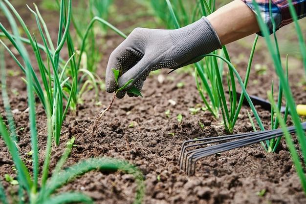 熊手庭の仕事と植物の世話をしている裏庭の庭でタマネギを除草する手袋の庭師