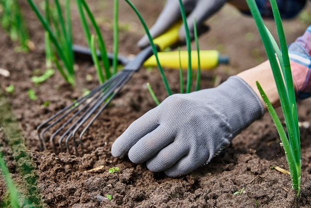 갈퀴 정원 작업 및 식물 관리 농부 원예 및 수확과 함께 뒤뜰 정원에서 장갑을 끼고 양파를 제초하는 정원사