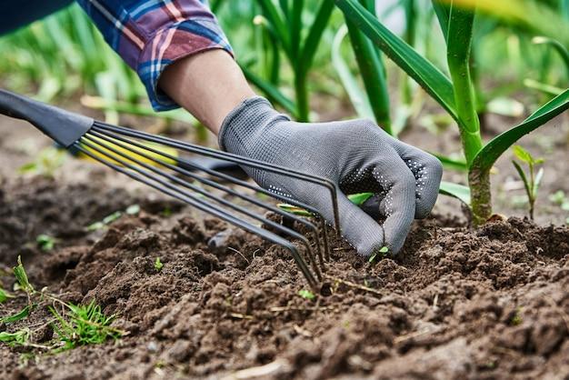 Садовник в перчатках прополка лука в саду на заднем дворе граблями