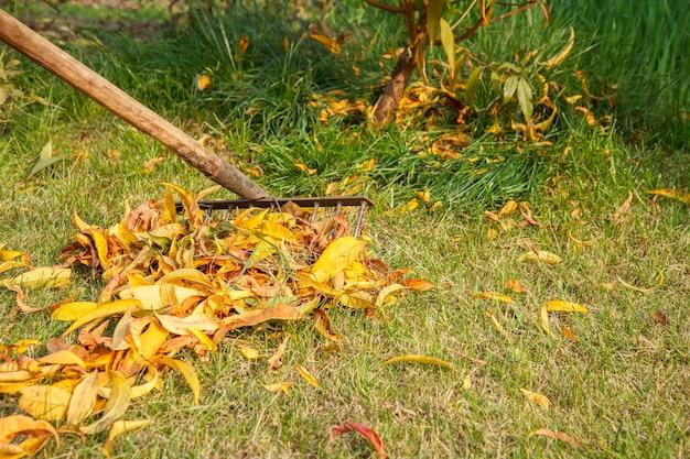 Осенью садовник чистит газон старыми граблями. дерево и зеленая трава на заднем плане.