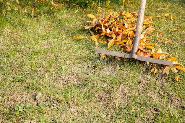 Осенью садовник чистит газон старыми граблями.