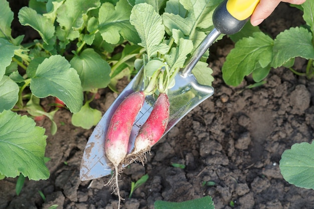 Gardener is digging out ripe red radish in the garden using small hand trowel. close up view