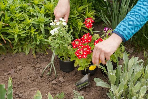 정원사는 흙손과 갈퀴를 사용하여 정원 침대에 빨간 버베나 꽃을 심고 있습니다.