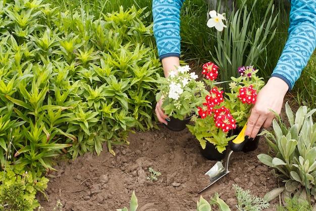 정원사는 흙손을 사용하여 정원 침대에 빨간 버베나 꽃을 심고 있습니다.