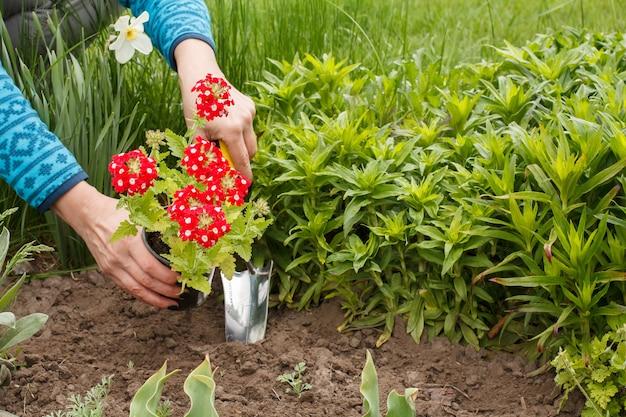 정원사는 흙손을 사용하여 정원 침대의 땅에 빨간 버베나 꽃을 심고 있습니다.