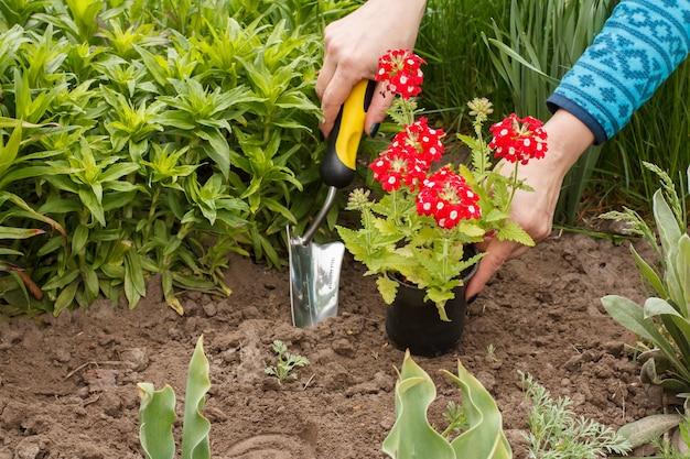 정원사는 흙손을 사용하여 정원 침대의 땅에 빨간 버베나를 심고 있습니다.