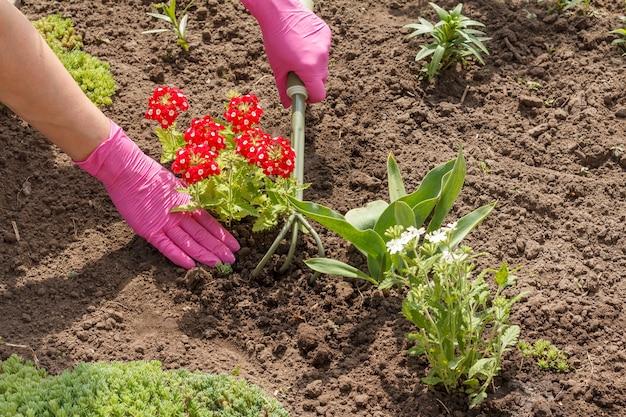 정원사는 정원 침대에서 작은 갈퀴를 사용하여 붉은 마편초 꽃을 심고 있습니다.