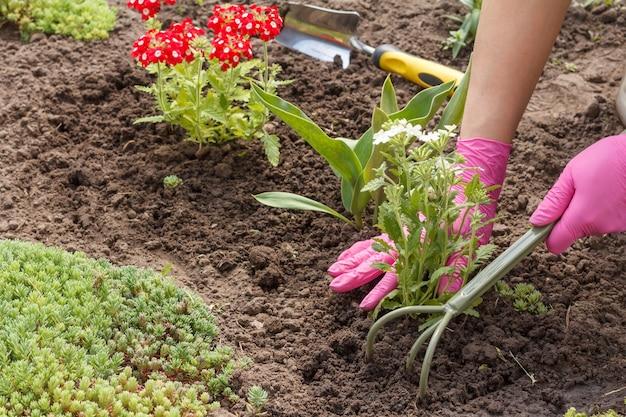 정원사는 정원 침대에 흰색 마편초 꽃을 심고 있습니다.