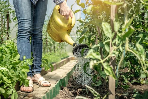 庭師は、じょうろを使用して温室内の緑のトマト植物に水をまきます