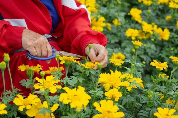 필드에 금 잔 화 꽃을 유지하는 정원사