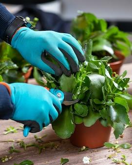 Садовник режет вдовий трепет, растение каланхоэ садовыми ножницами и перчатками