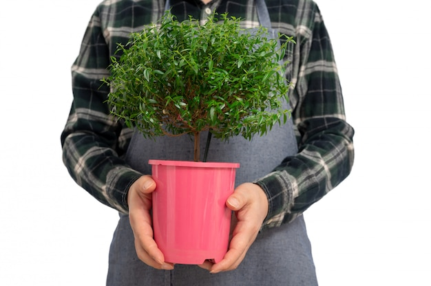 Gardener man holding a myrtle herb tree over the isolated background
