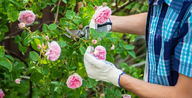 Gardener man pruning tea rose shears.