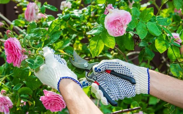 Gardener man pruning tea rose shears.