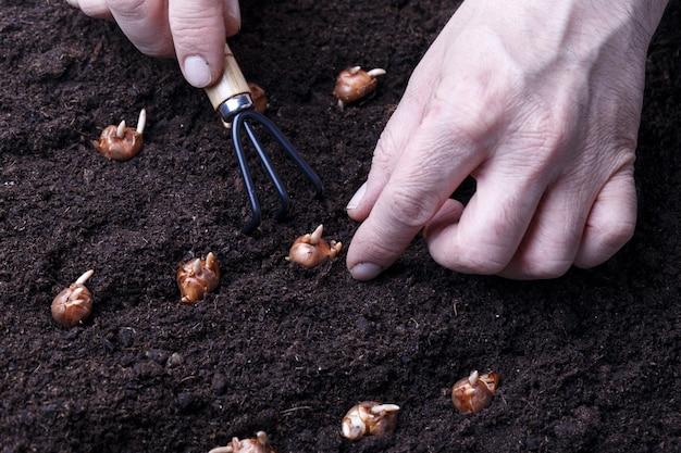 Садовник сажает цветочные луковицы Premium Фотографии